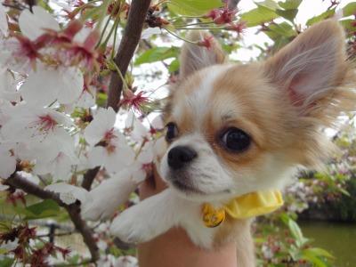 最後の桜 (13)