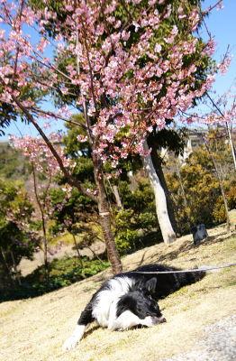 0303-10桜の前でゴロゴロヴィヴィ