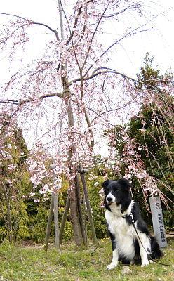 0331-2枝垂れ桜とヴィヴィ