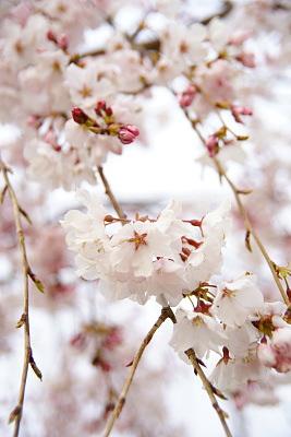 0331-3枝垂れ桜1