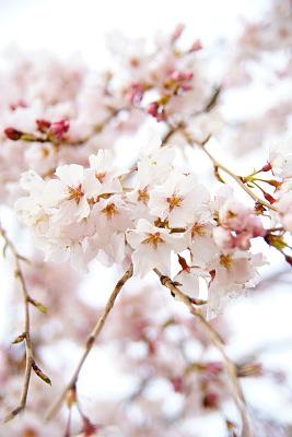 0331-4枝垂れ桜2
