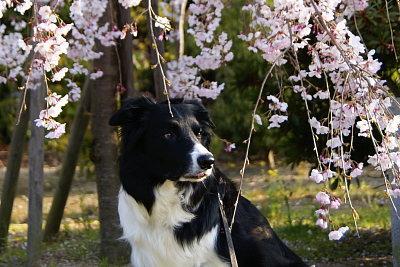 0407-3枝垂れ桜とヴィヴィ3