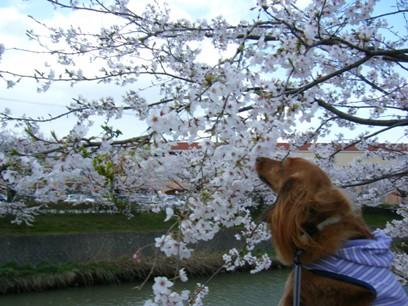 桜のニオイ、桃にはわかるかな~?