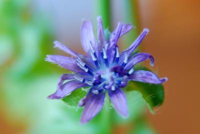 エンダイブの花