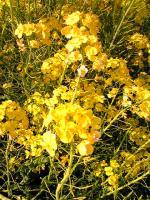 菜の花満開春が来た2