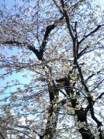 丸亀裁判所の桜2