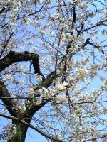 丸亀裁判所の桜1
