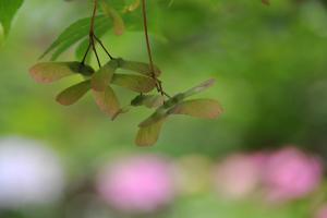 本土寺カエデ種子