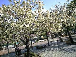 ウコン桜3
