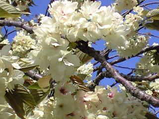 ウコン桜4