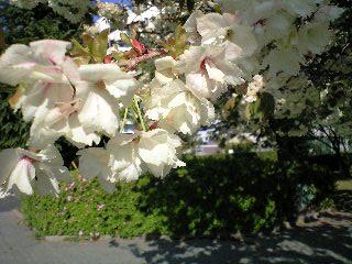 ウコン桜5