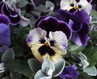 紫パンジー♪
