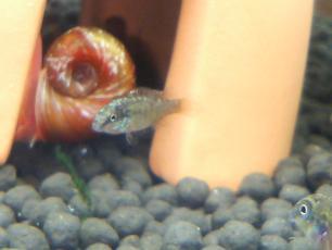 どんが稚魚チビ