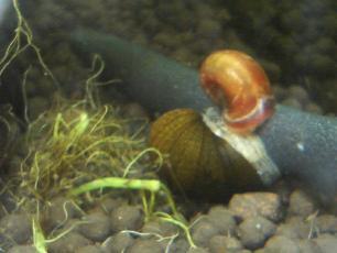 石巻貝とレッドラムズホーン