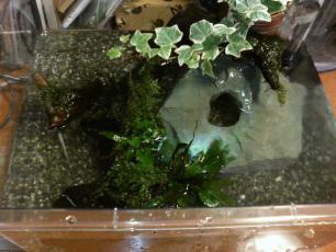 イモリ水槽