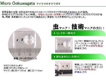 「マイクロオオクワガタ」-2