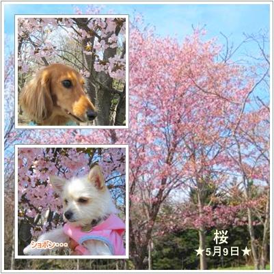 ~レンラン桜~