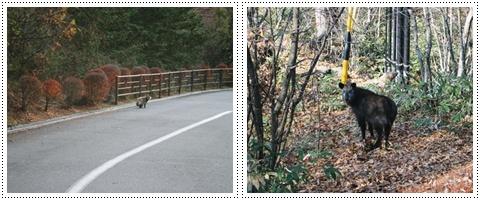 たぬきと日本鹿
