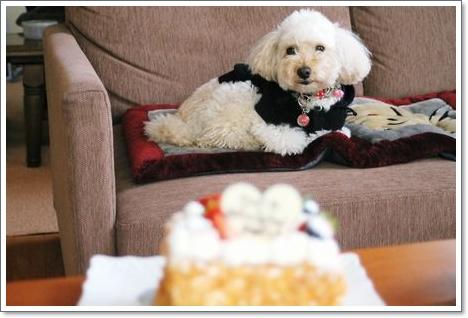ケーキを狙う白犬