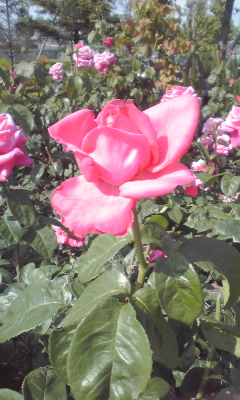 ミササガのバラ1