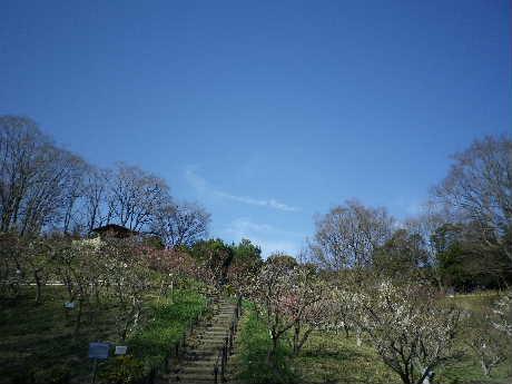 梅の木がいっぱい