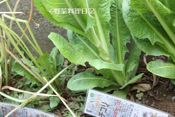 chikori tanpopo apr 09