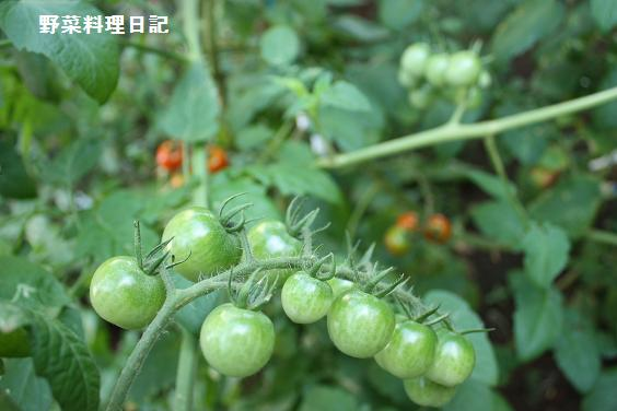 tomato Jul 27 09