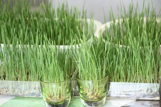 wheatgrass Nov 8 09