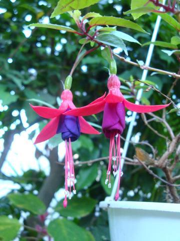 Fuchsia 釣浮草
