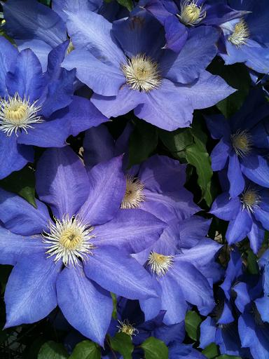 clematis May 10