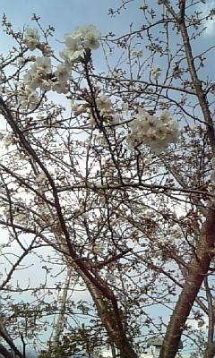 サクラ20110327