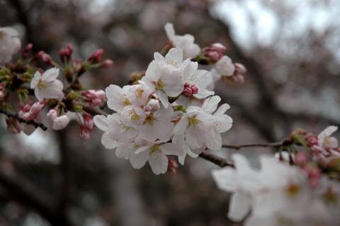 hanami_sakuras.jpg