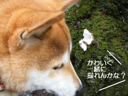 お花見一回(目04 04)6