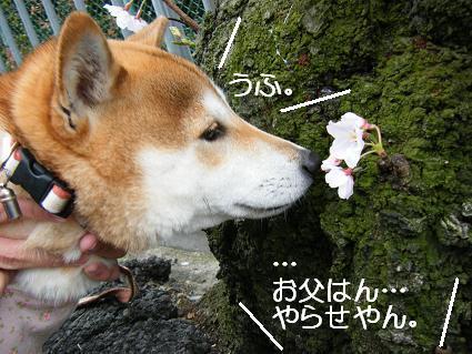 お花見一回(目04 04)8