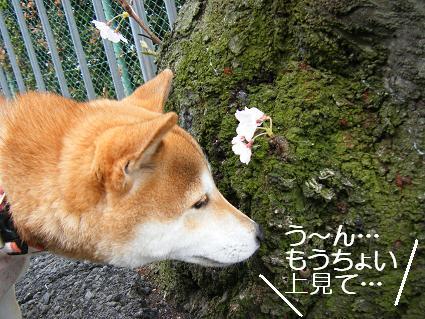 お花見一回(目04 04)7