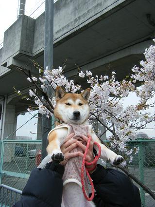 お花見一回(目04 04)12