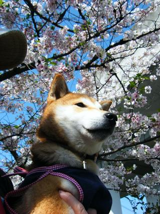 お花見遠足②(04 11)1