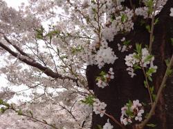お花見009_