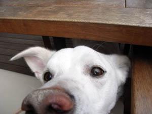 テーブルの下からピクシィ