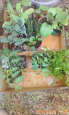 植える前の苗