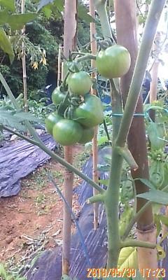 大きなミニトマト
