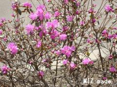 ツツジの花100505