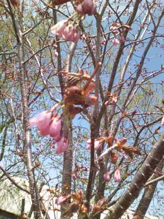 桜20100517
