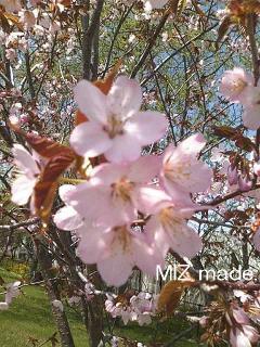 今日の桜100519