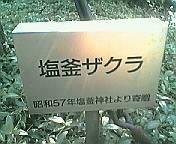 shiogamazakura.jpg