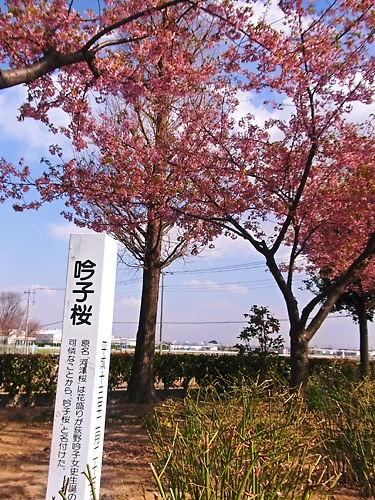 吟子桜は河津桜