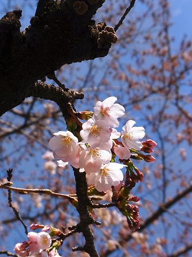 ソメイヨシノは五分咲きか?