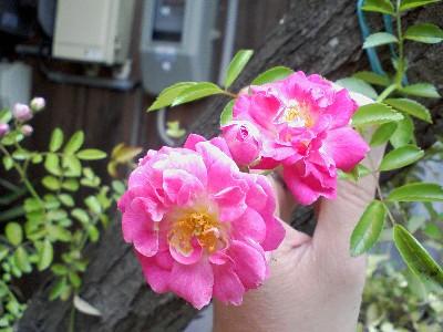 pinkminiturubara20090526.jpg
