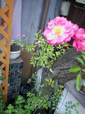 pinkminiturubara2009052602.jpg