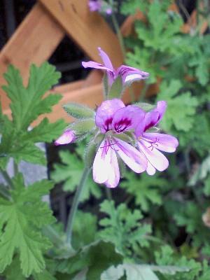 rosezeranium2009.jpg